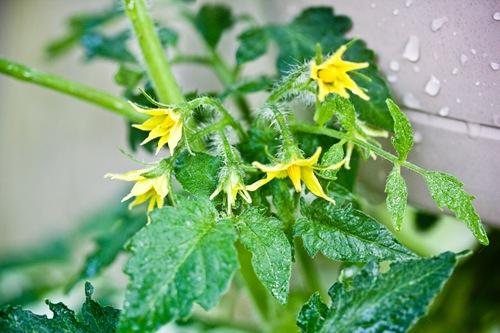 tomato blooms upside down planter
