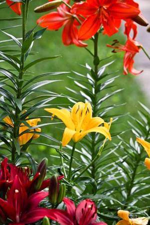 Red, Orange, Yellow Asiatic Lily Lilies in Bloom