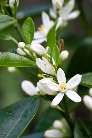 Calamondin Tree Bloom Flower