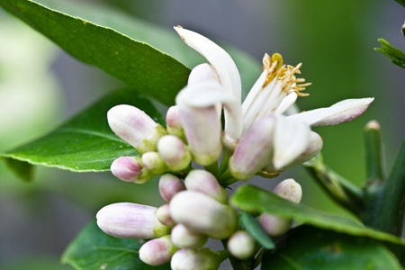 Lemon Tree Bloom Flower