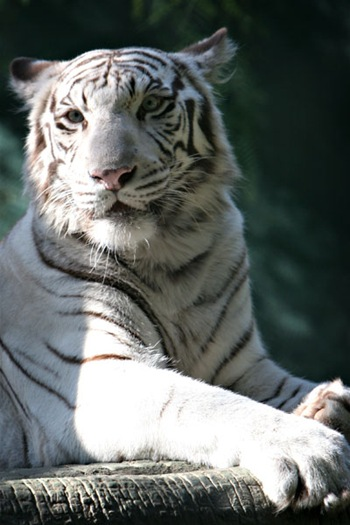 Siegfried and Roy's tigers
