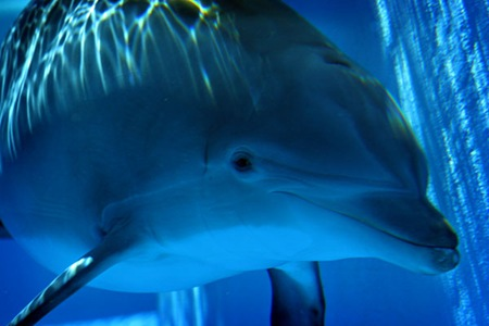 Mirage Dolphin